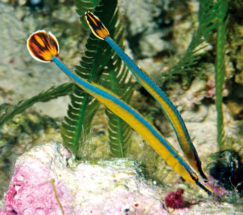 Pipefish pair 476px for Golden fish pipe